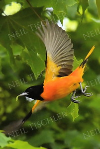 #1183  Baltimore Oriole, male, in flight. (Available only as a signed print direct from Neil)