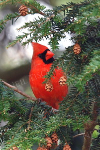 #593  Northern Cardinal, male, in hemlock tree
