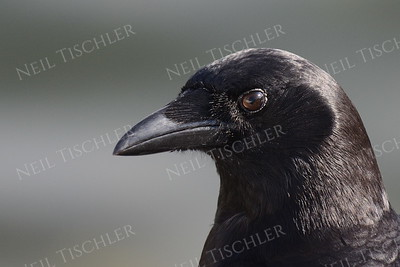 #1055  An American crow portrait