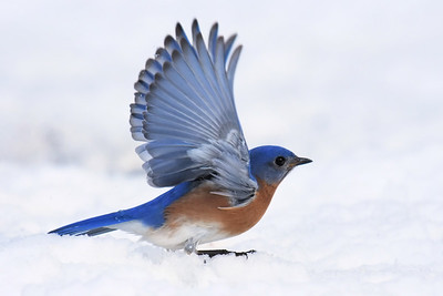 #1430  Eastern Bluebird, m  taking flight