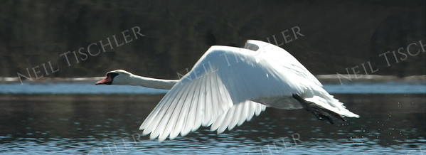 #451  A mute swan in flight.