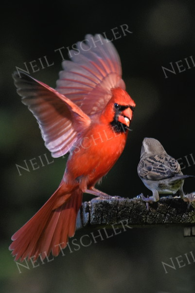 #1175  Northern Cardinal scaring house sparrow away from feeding tray - 2 of 4 images.  (Available only as a signed print direct from Neil)