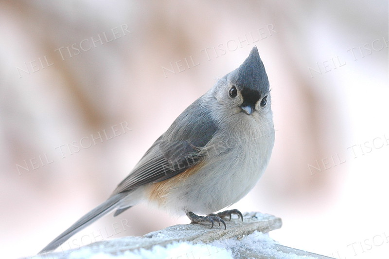 #406  A tufted titmouse on a feeder in winter. (Available only as a signed print direct from Neil)