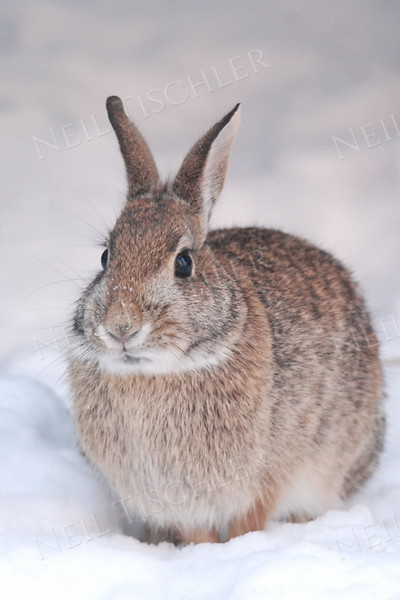 #691  Our backyard bunny sits contentedly in fresh snow.  (Available only as a signed print direct from Neil)