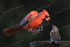 #1176  Northern Cardinal scaring sparrow away from feeding tray - 3 of 4 images