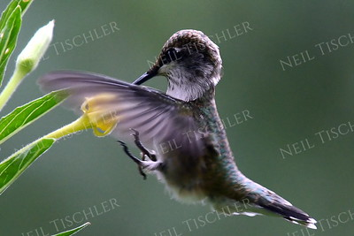 """#972  A ruby throated hummingbird brakes suddenly to sip from a wild flower.  We call this image """"Air Brakes!""""  (Available only as a signed print direct from Neil)"""