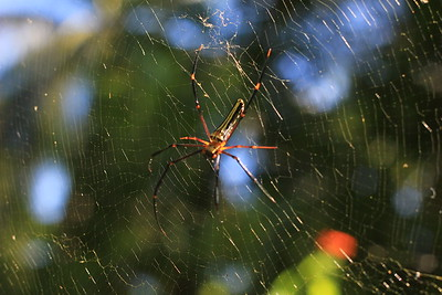 Golden Nephila below the 3-rd tree