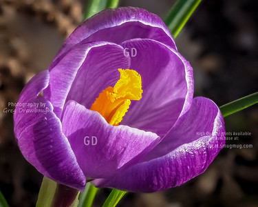 Crocus Bloom