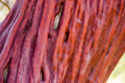 Rich smooth red wood of the madRONe