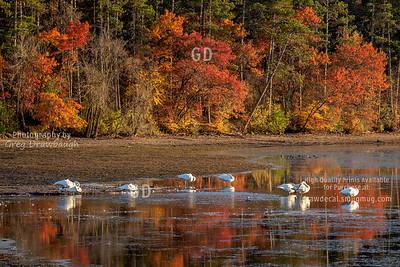 Swans at Vadnais Lake