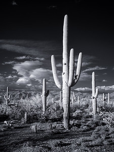 Giants of Tucson
