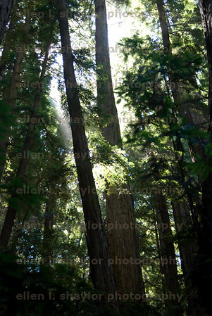ISO 360, 35mm, f/3.8, 1/60 sec<br /> july 27<br /> muir woods, california