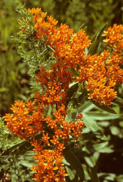 Flowering Plants of Western New York State