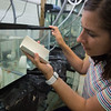 Graduate student Amy Cavanaugh working with Fathead Minnows (Pimephales promelas) in Great Lakes Center lab at Buffalo State College.