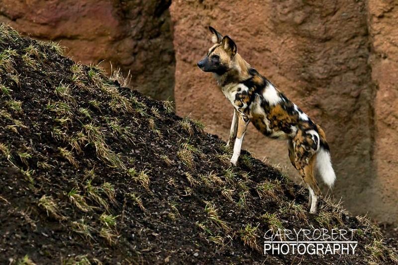 Afican Parrie Dog