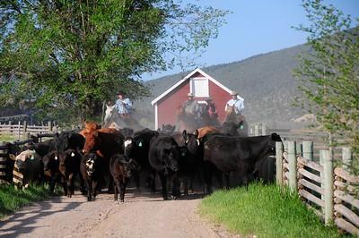 Cattle Branding 5