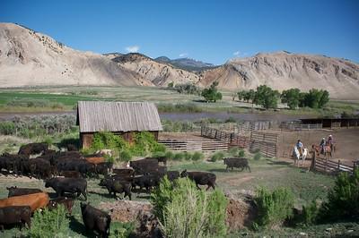 Cattle Branding 10