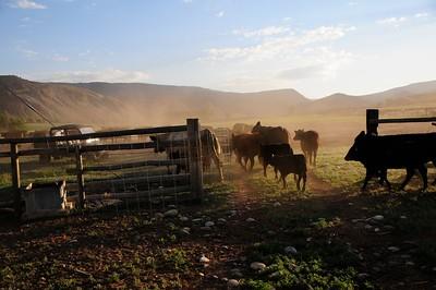 Cattle Branding 3