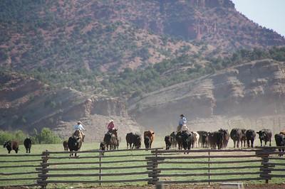 Cattle Branding 9