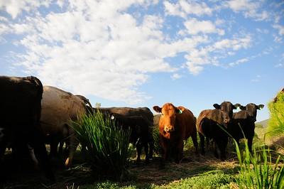 Cattle Branding 6