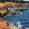 Acadia - Seagull Near Otter Point