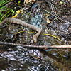 A common water snake we saw at the top of the falls.  Not sure how he keeps from going over the top.