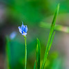 Very tiny and delicate wildflower.  Extremely hard to photograph with my camera and general purpose lens.