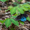 Pipevine Swallowtail on Virginia Creeper