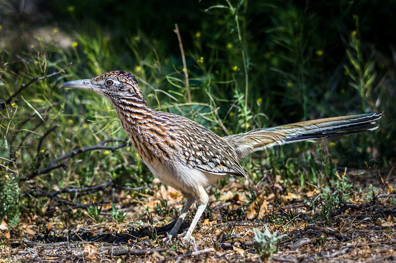The next morning I was looking for wildlife as usual.  This Greater Roadrunner was waiting to greet me.