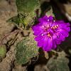 Trailing Four O'clock flower