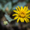 Littlehead Gumweed