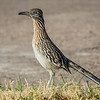 the Greater Roadrunner is very common in the desert southwest.  The only other trip on which I saw Greater Roadrunners was in Nevada on the way to Zion National park, so it was lots of fun to see these birds in many different settings.