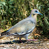 White-winged Dove with amazing eyes.  These birds look either grayish blue or tannish to me depending on the light.