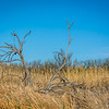 I liked the way this dead tree looked against a sea of grass and clear blue sky.