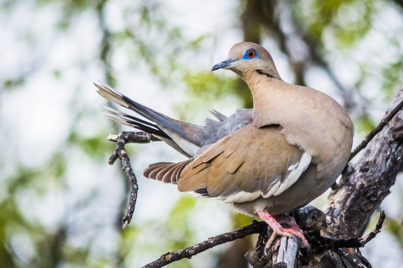 Back in the campground I got this beautiful White-winged Dove.  It was one of a pair displaying courting jestures.