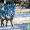 Then I came upon several Javelinas.  This guy was bringing up the rear like the rear guard in a parade.  He stopped and checked me out just long enough to get his photo.  They are also called Skunk Pigs.  Some folks say you can smell them before you see them.  That wasn't my experience but I could smell them!