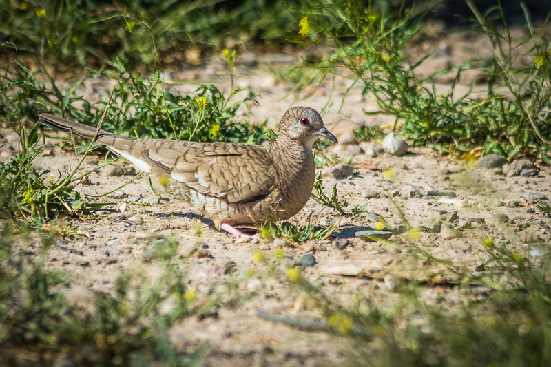 One of the first birds I saw was this Inca Dove.  The red eye is beautiful, but a closeup of the feather pattern is truly amazing.  I think I have a closeup in a later photo.