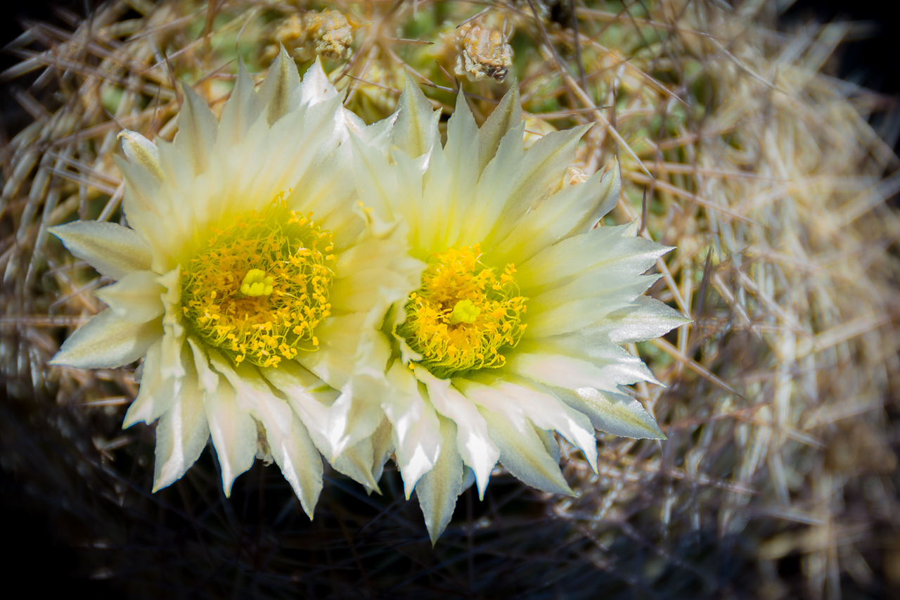 Warnock Cactus in bloom.  We were a little early in the season and I was surprised that we got to see any in bloom.