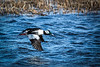 Male Bufflehead in flight.  You can see his mate flying on the other side of him.