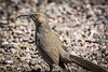 The Curve-billed Thrasher has a cool eye color and crazy curved beak.  He reminds me of a grumpy old man.