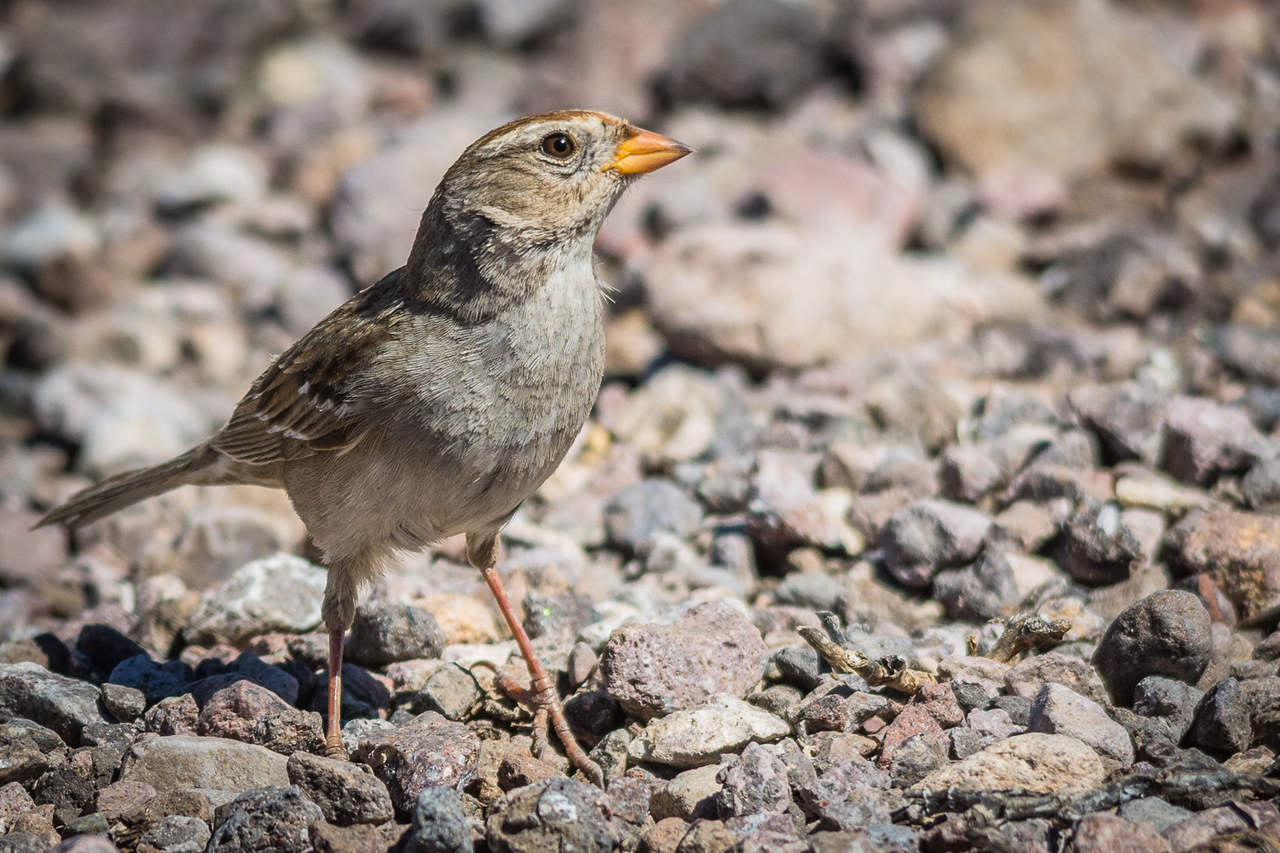 White-crowned Sparrow, female
