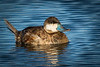 Another Ruddy Duck