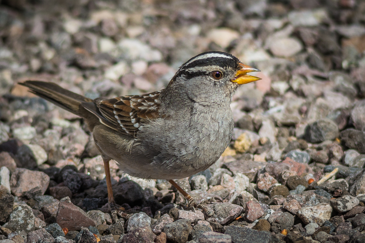 White-crowned Sparrow, male