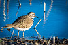 Killdeer foraging along the edge of a pond