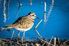 Killdeer foraging along the edge of a pond