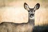 Curious Mule Deer Doe