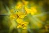 Creosote Bush bloom