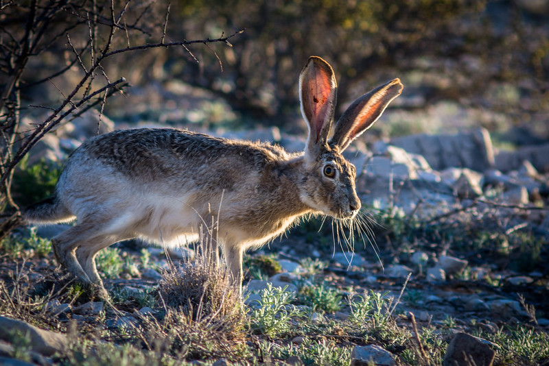 This Black-tailed jackrabbit caught the last few rays of sunlight.