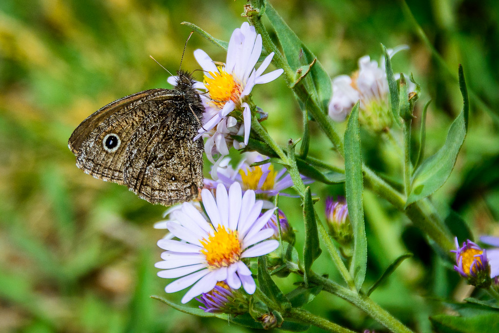 Small Wood-Nymph on Alpine Aster