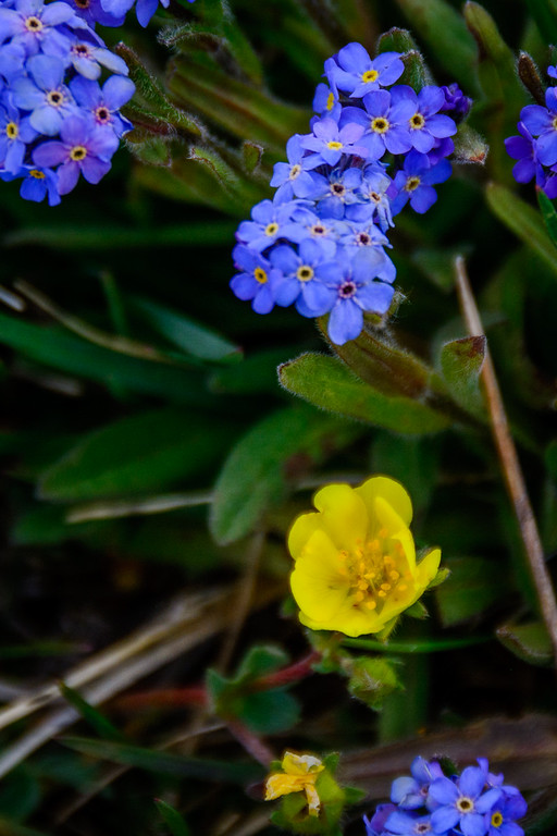 Alpine Cinquefoil and Alpine Forget-Me-Nots